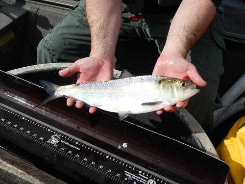 American shad | by FWC Research