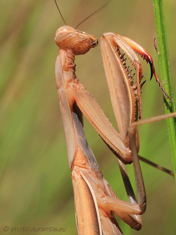 Mantis religiosa · Mante religeuse · Europäische Gottesanbeterin