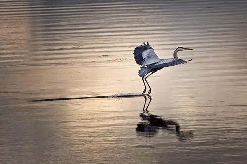 "Grand Prize Winner - ""Blue Heron Landing"" (Photo Credit: Alex Bruce)   by Tourism PEI Photos"