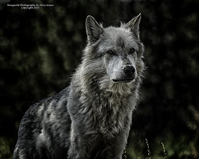Posing Gray Wolf