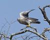 Dickinson's Kestrel ( Falco dickinsoni) by Lip Kee