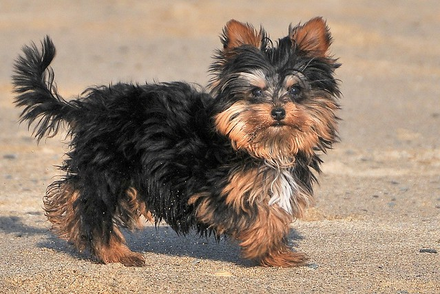 Small And Bonkers ... Yorkie