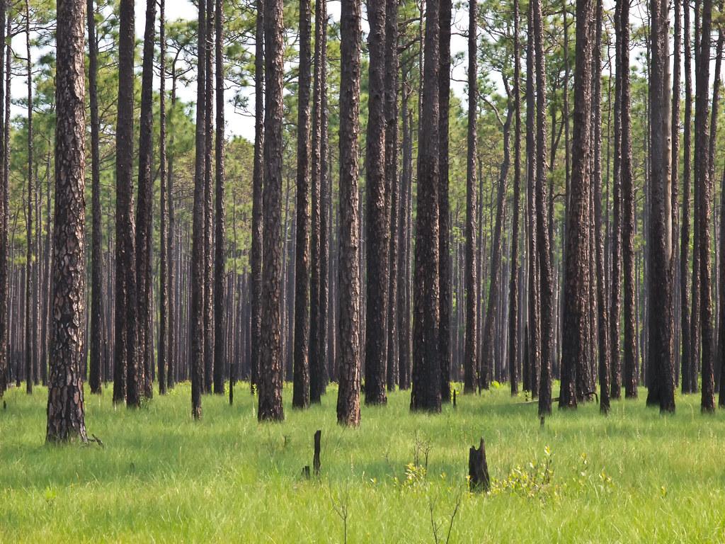 Big Island Savannah in the Green Swamp Preserve
