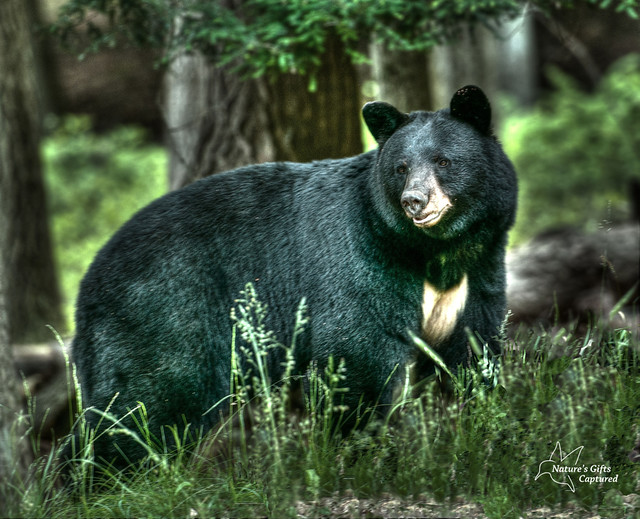 Black Bear  June 2012