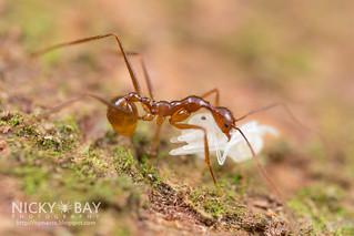 Ant (cf. Aphaenogaster feae) - DSC_7501