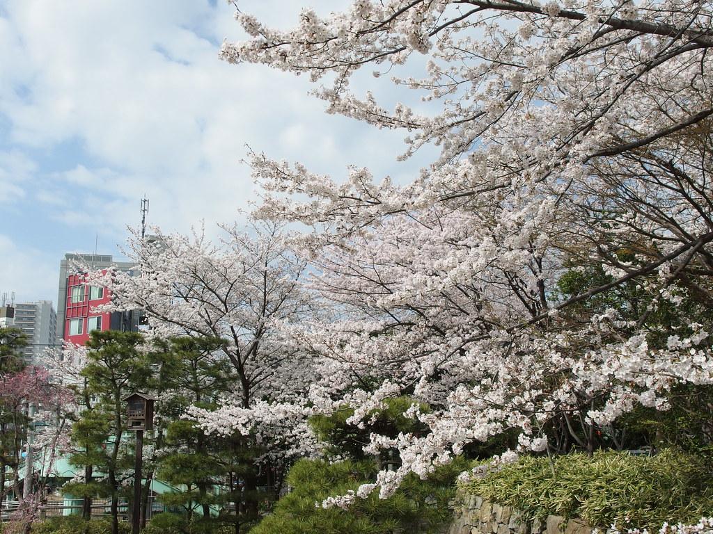 Cherry blossoms @ Asukayama Park @ Oji