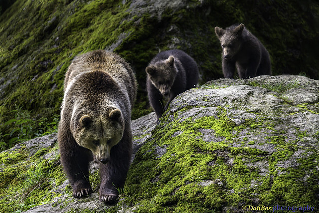 Bear Cubs in the footsteps of her Mum ..