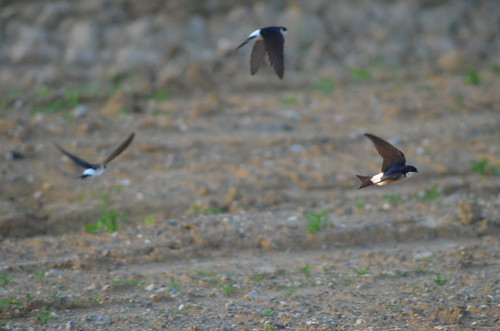 House Martins | by wrakky