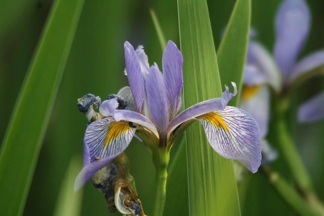 Iris?