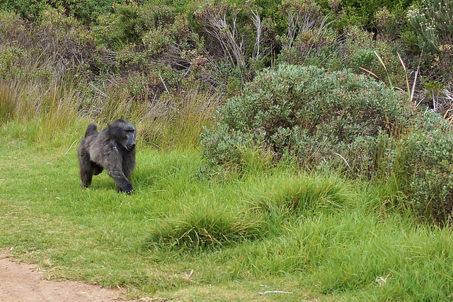 First baboon I encountered