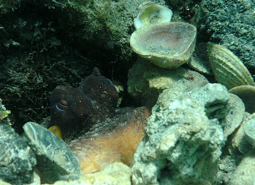 Octopus hiding in Den