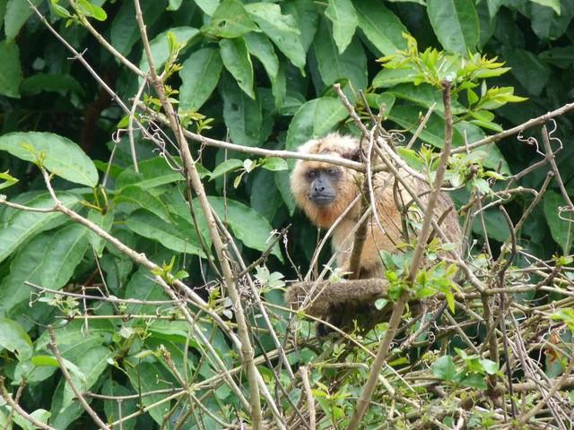 Mono aullador en la selva amazónica