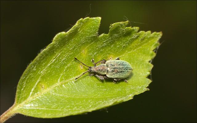 Weevil - Polydrusus sericeus