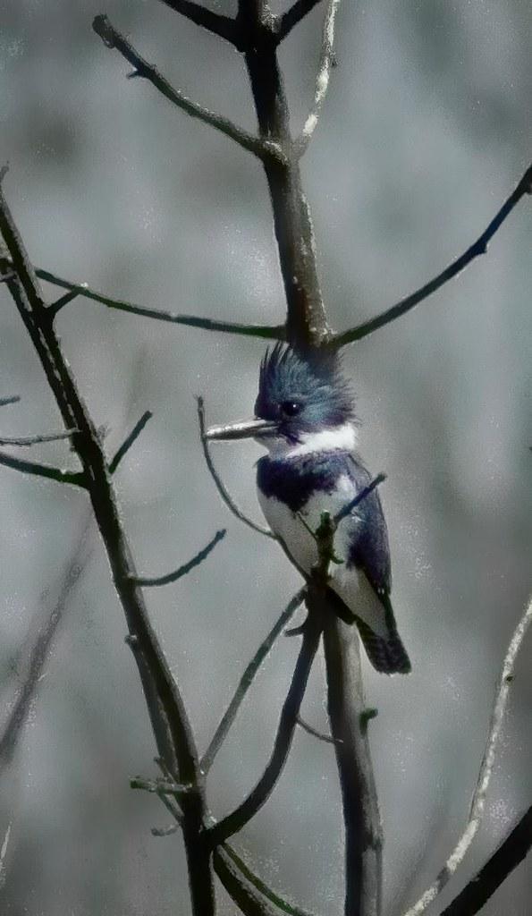 Martin-pêcheur d'Amérique ---  Belted kingfisher --- Martín gigante norteamericano