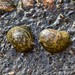 Flickr photo 'Radix auricularia (Linnæus, 1758)' by: Marcello Consolo.