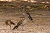 Grey-headed Chachalacas - Ortalis cinereiceps by Birding Doc