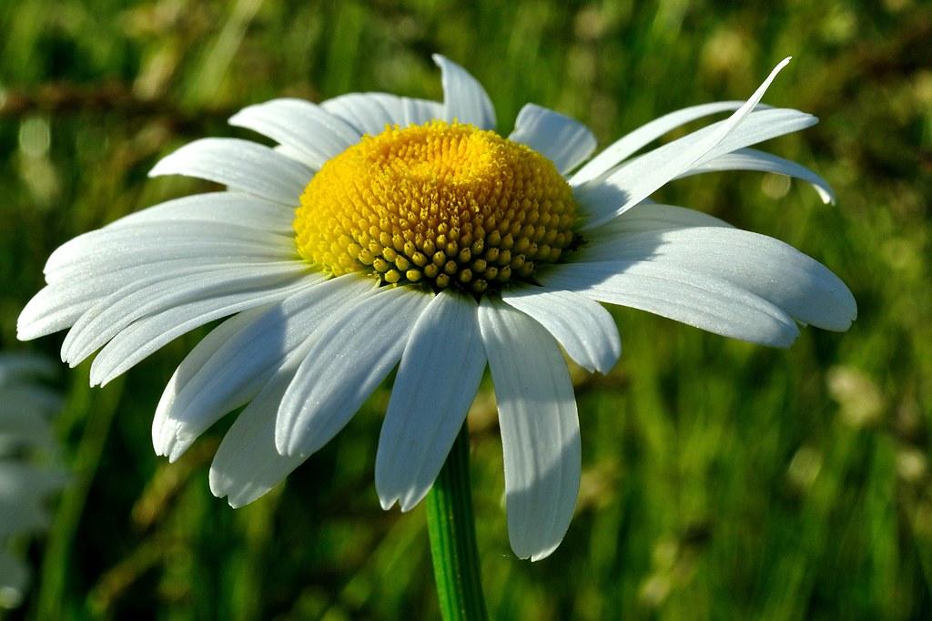 Pure White Butterfly® - Marguerite Daisy - Argyranthemum