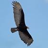 Lesser Yellow-headed Vulture, Cathartes burrovianus by Allan Drewitt