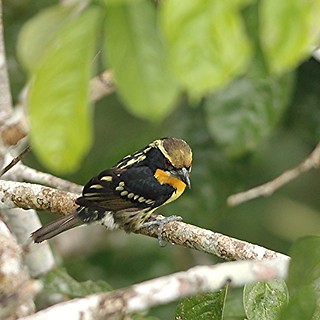 Gilded Barbet | by George Cruz // www.sanjorgeecolodges.com