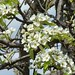 Bartlett pear bloom close-up