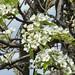 Bartlett pear bloom close-up