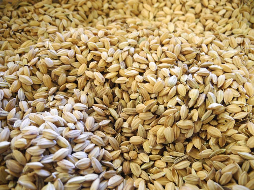 稻米。資料照。攝影:廖靜蕙。