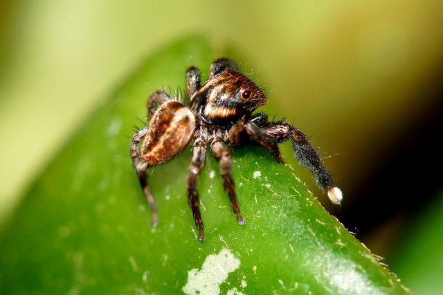 Waveing to his mate,one of the many Salticidae in our garden.