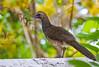 Speckled Chachalaca - Brazilian Birds - Species # 015 by Bertrando©
