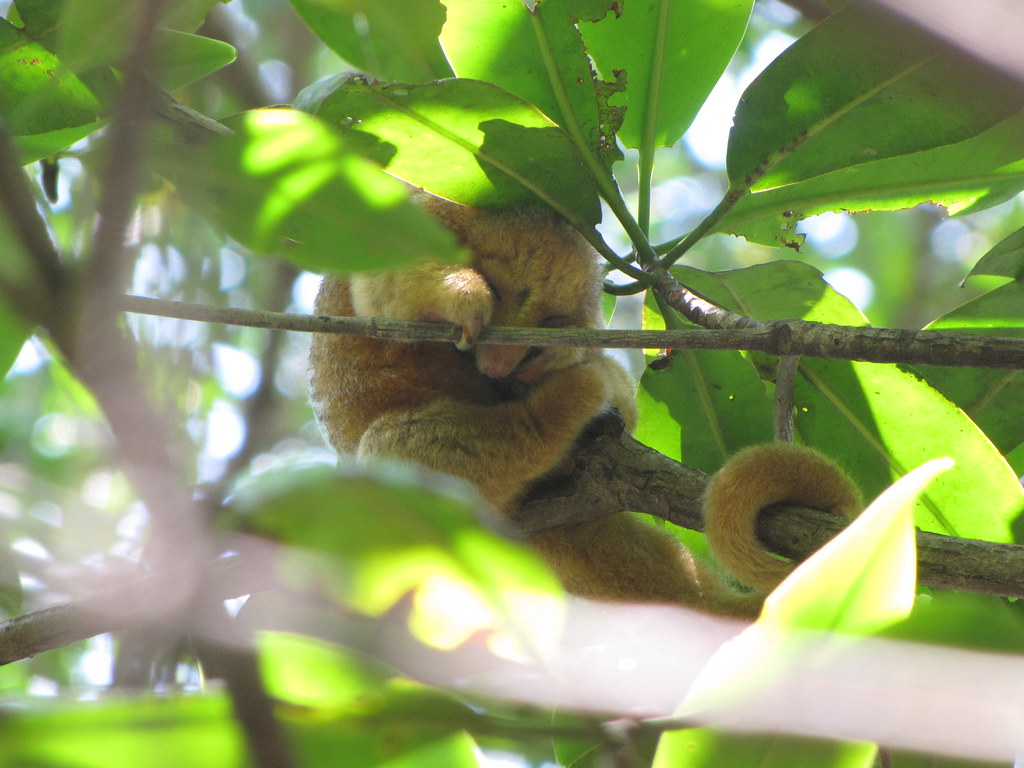 The Tiny Silky Anteater