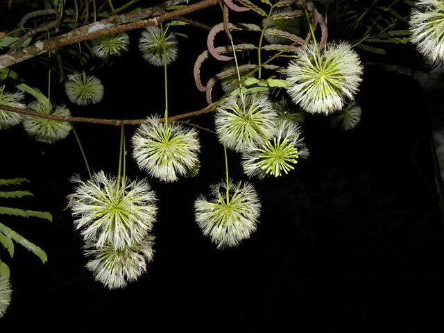 Cojoba sophorocarpa (Benth.) Britton & Rose