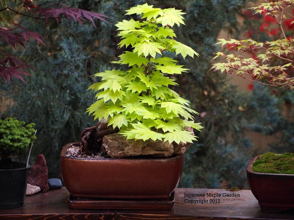 Acer Shirasawanum Aureum Bonsai Spring Color Acer Shiras Flickr