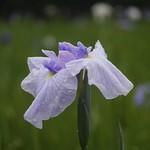 Blue flag - Iris 菖蒲