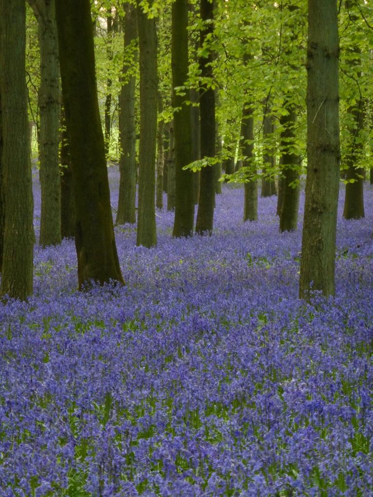 Dockey Wood, Ashridge Estate