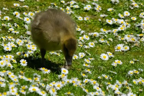 Gosling feeding among daisies