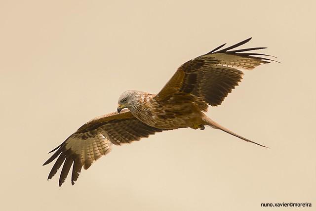 Milhafre-real, Red kite(Milvus milvus)