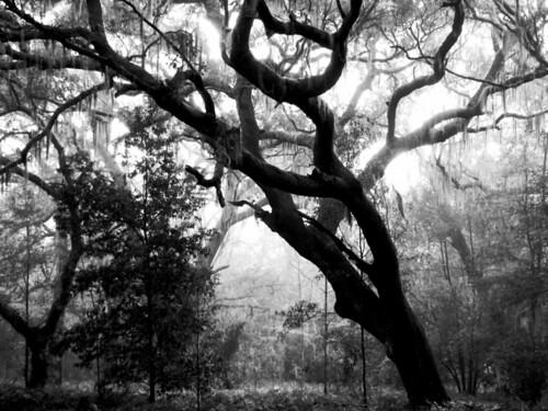 trees silhouette landscape oak florida liveoak spanishmoss canopy bananalake