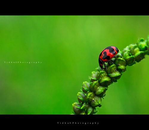 Ladybug | by Vidhu S Pillai