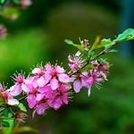 Flowering almond - はねず