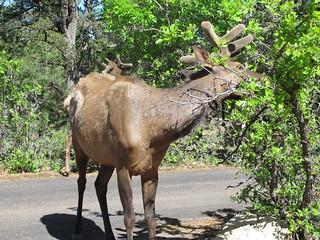 Grand Canyon: Elk ignoring me | by mormolyke