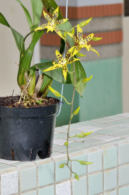 堇蜘蘭的花朵