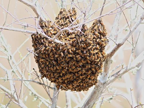 Honeybee swarm 20140325