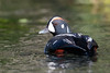 Harlequin Duck (Histrionicus histrionicus) by TroyEcol