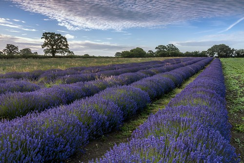albertwirtz nikon d810 unitedkingdom england southwestengland südwestengland somerset faulkland lavender lavendel field sunrise frühermorgen earlymorning lavenderfarm fantasticnature