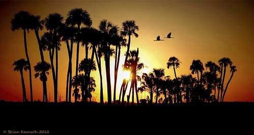 cabbagepalms sabalpalmetto florida centralflorida sunset palmtrees sandhillcranes flare solarflare sunflare palms tree trees sky skies bird birds bif birdinflight birdsinflight lakewoodruff arecaceae lakewoodruffnationalwildliferefuge palmae palmfamily cranes gruidae gruscanadensis antigonecanadensis