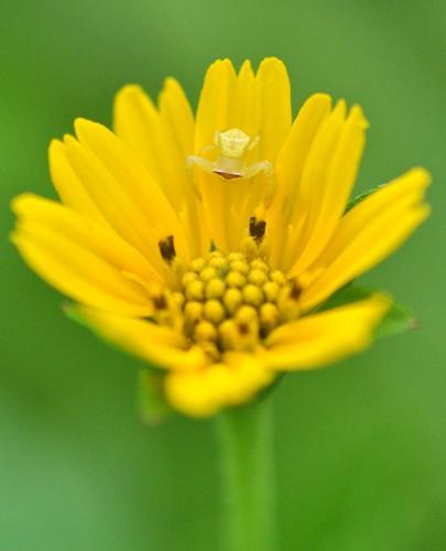 flowers spider singapore crabspider naturereserves admiraltypark