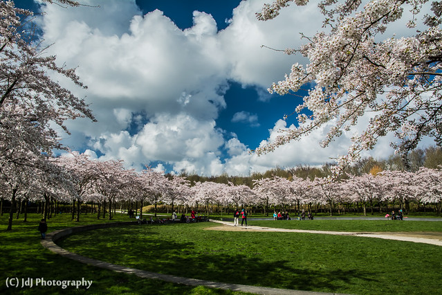Cherry blossom season has kicked off, part 2 (+1)