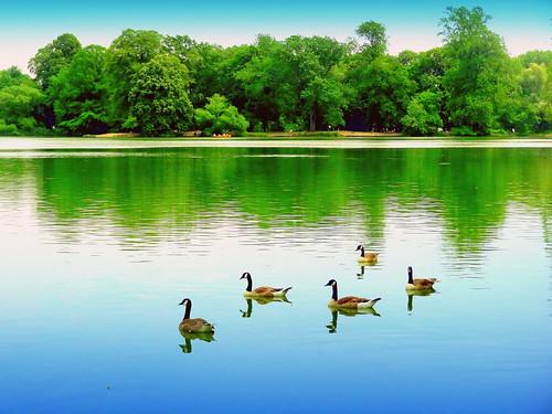 summer newyork reflection bird birds brooklyn image prospectpark commongrackle canadagoose dmitriyfomenko