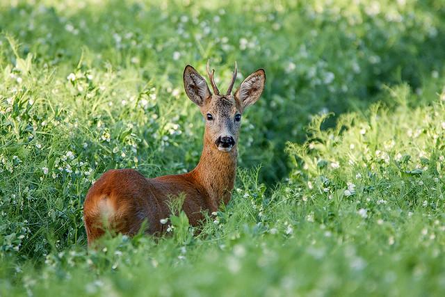 Reh - Capreolus capreolus - deer