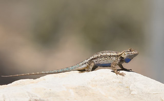 Male Western Fence Lizard? | by Ingrid Taylar