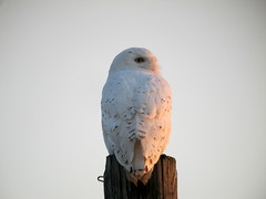 Snowy Owl, Worthington, PA, March 23, 2012
